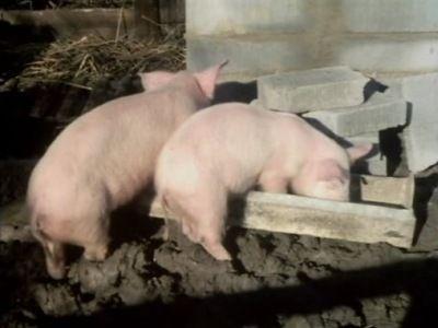 Pig's Lib