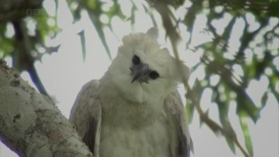The Monkey-Eating Eagle of the Orinoco