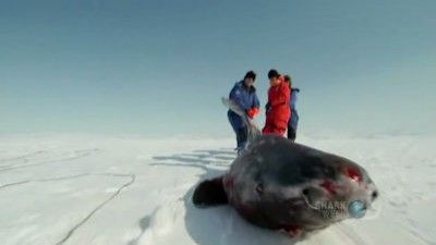 Greenland Shark Quest