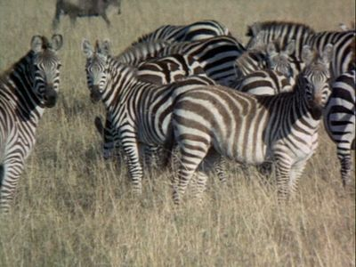 Mystery of the African Safari