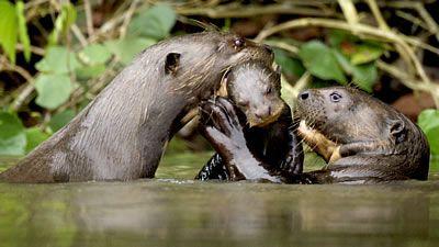 Giant Otters of the Amazon