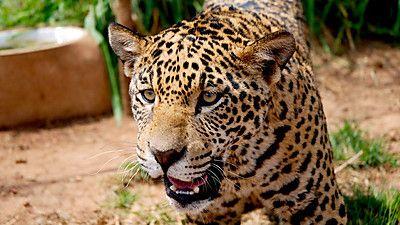 Jaguars - Born Free