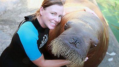 Walrus: Two Tonne Tusker