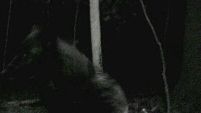Huckleberry's Predator