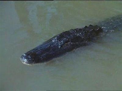 Alligator Duel
