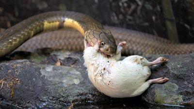 Robert, King of Cobras