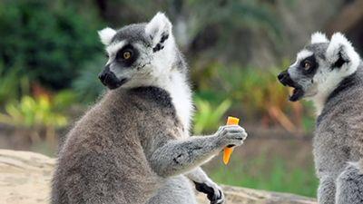 Bindi's Lemur Island