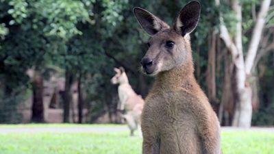 Robert's Baby Kangaroo