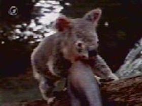The Scarlet Koala